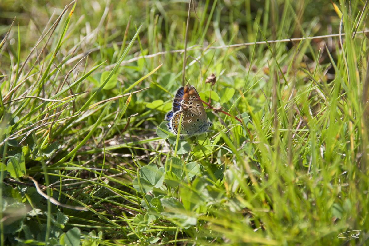 vlinder Cleur