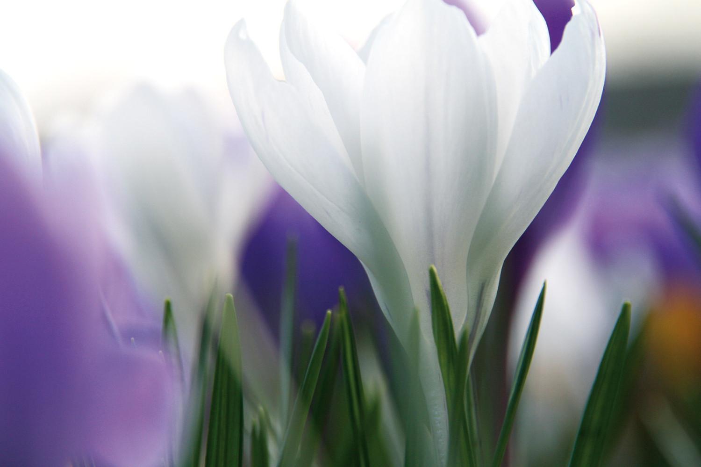 lente krokus